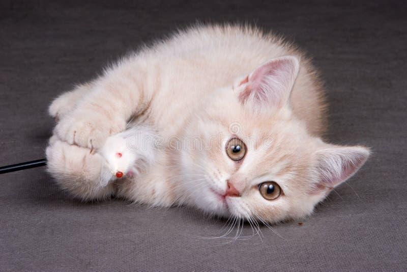 Gattino britannico dello shorthair fotografie stock libere da diritti