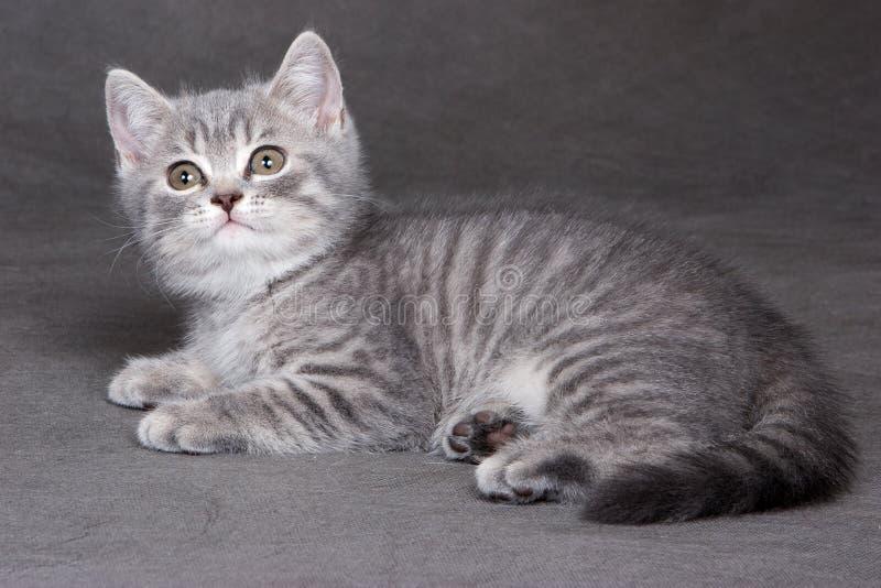 Gattino britannico dello shorthair fotografia stock libera da diritti