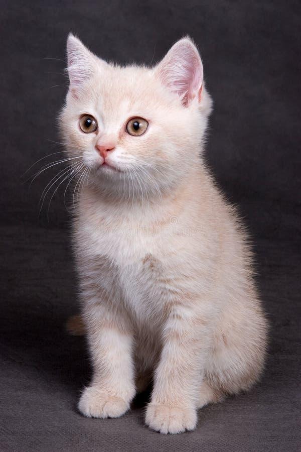 Gattino britannico dello shorthair immagine stock