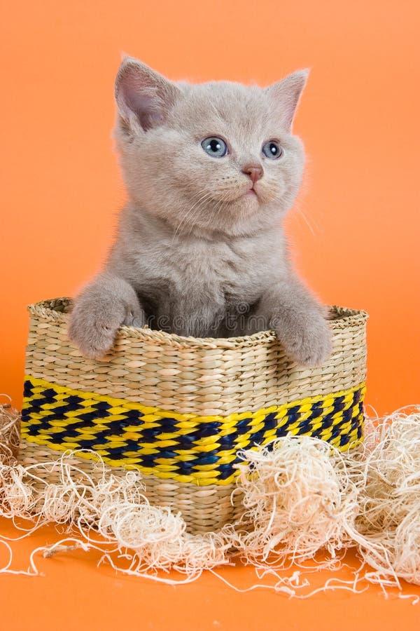 Gattino britannico di Shorthair immagine stock