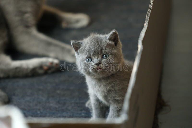 Gattino britannico di Shorthair, fronte sveglio, vista del primo piano fotografie stock