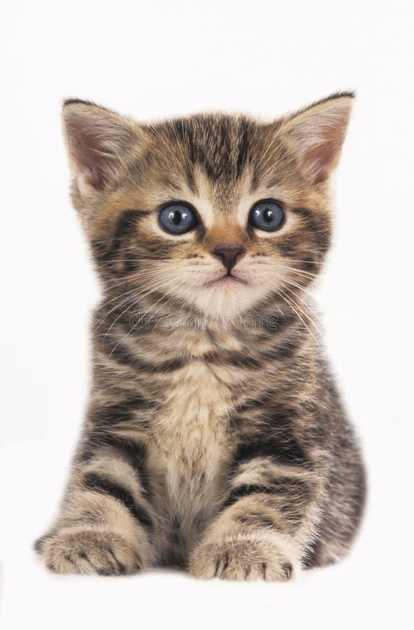 Gattino britannico sveglio dello shorthair isolato fotografie stock libere da diritti