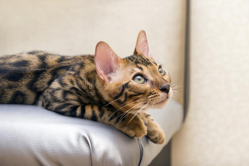 Gattino che cerca, occhi di gatto, cappotto macchiato, razza del gatto del Bengala del gatto immagini stock libere da diritti