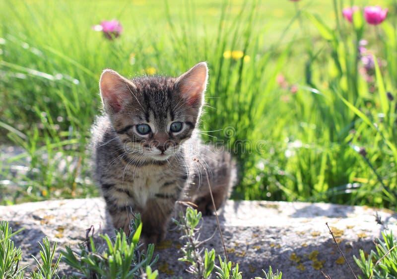 Gattino che fissa ad una goccia di rugiada su una lama di erba immagini stock libere da diritti