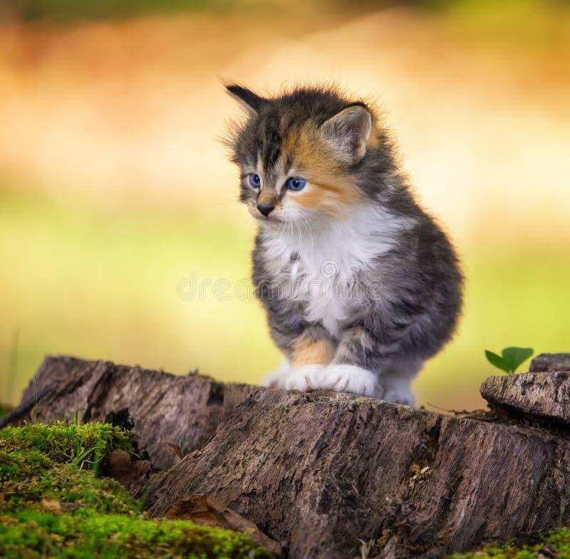 Gattino che fissa avanti fotografie stock