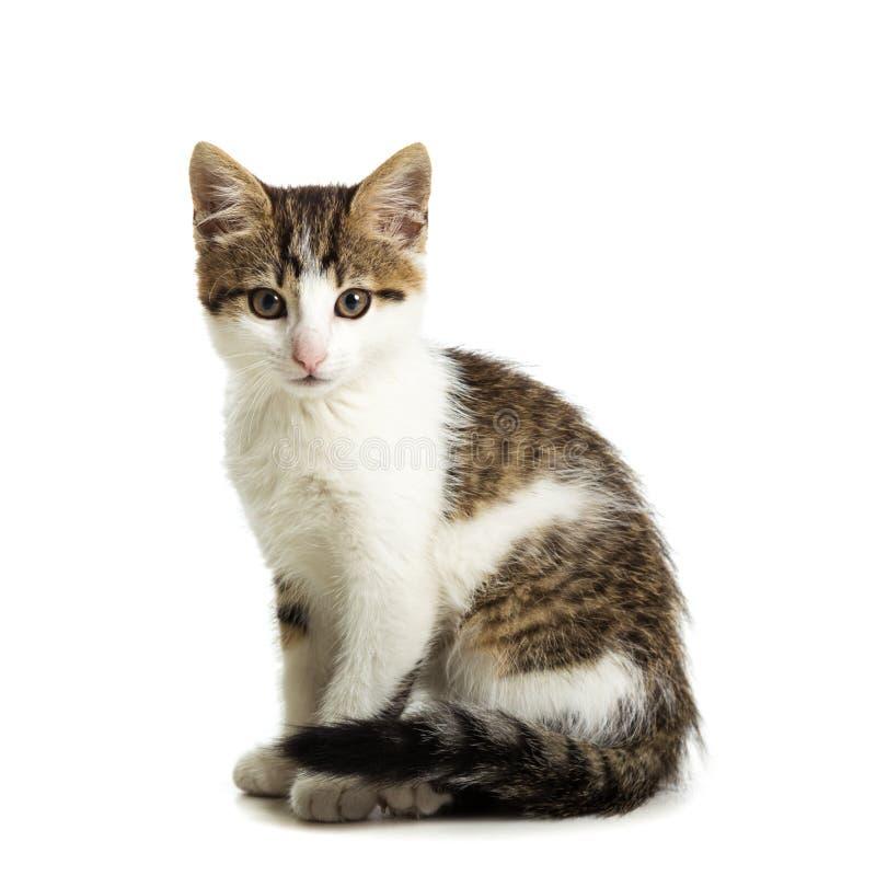 Gattino che si siede su un fondo bianco fotografia stock libera da diritti