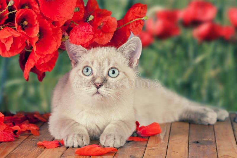 Gattino con i fiori del papavero fotografie stock libere da diritti