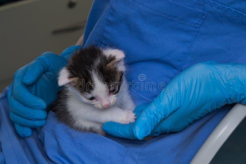 Gattino con la congiuntivite holded nelle mani di un veterinario immagine stock libera da diritti