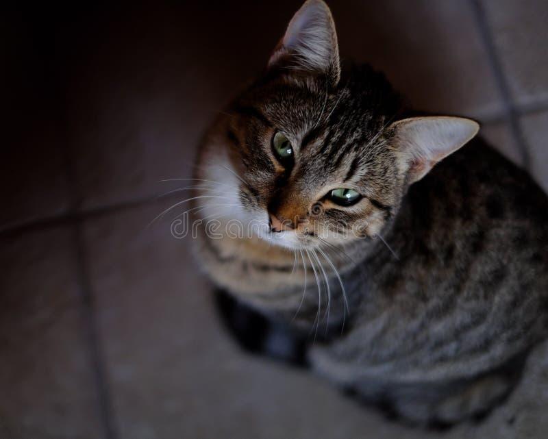 Gattino dagli occhi verdi che guarda al camara fotografia stock