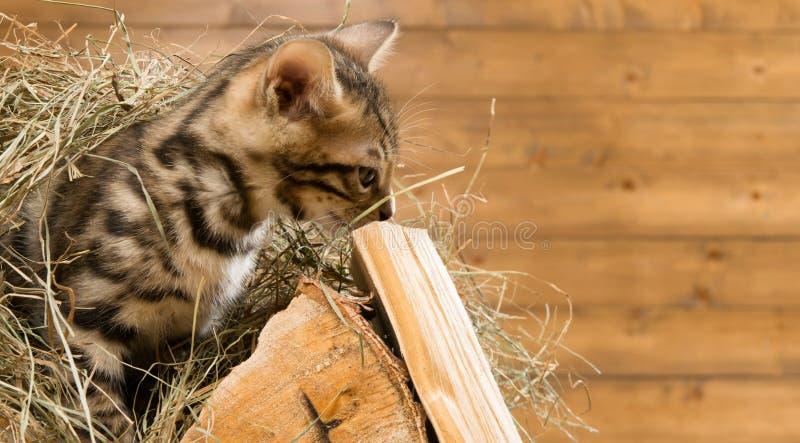Gattino del Bengala che si siedono su un legno in senna e sguardi immagine stock
