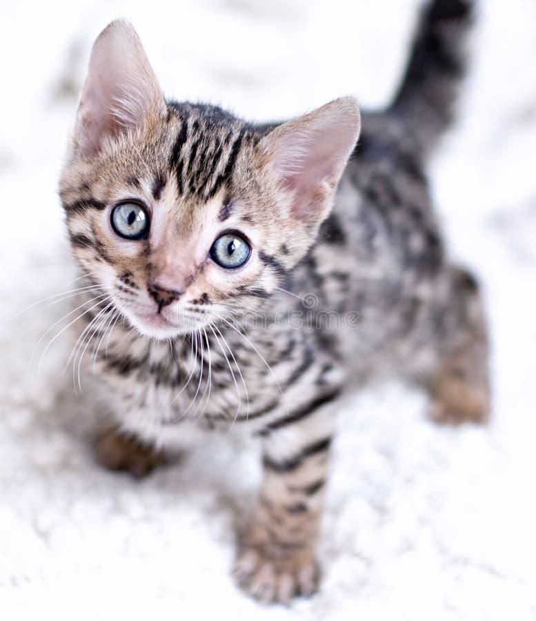 Gattino del Bengala giocato immagine stock