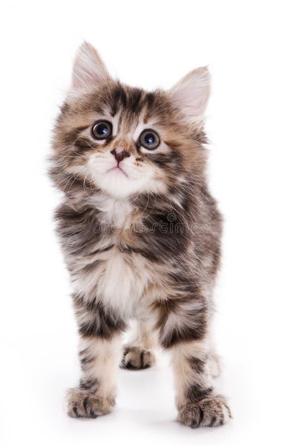 Gattino del Bobtail del Kuril immagini stock libere da diritti