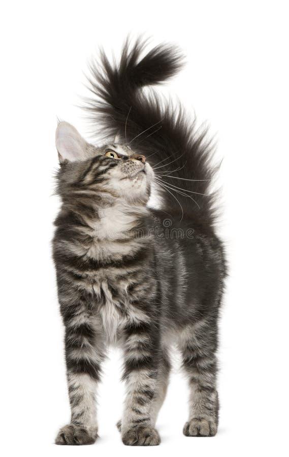 Gattino del Coon della Maine, 4 mesi, osservanti in su immagine stock
