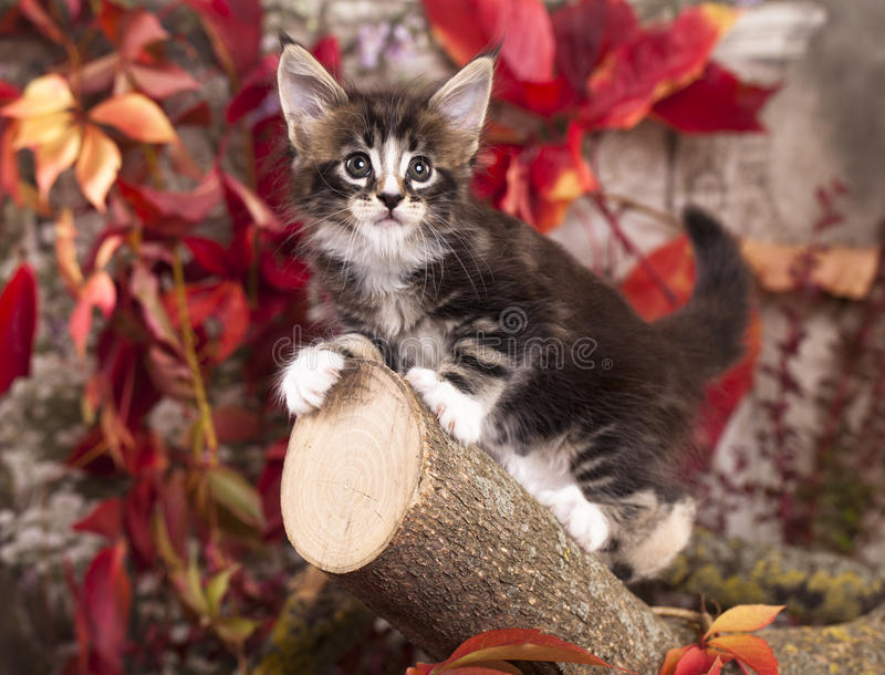 Gattino del Coon della Maine immagini stock libere da diritti