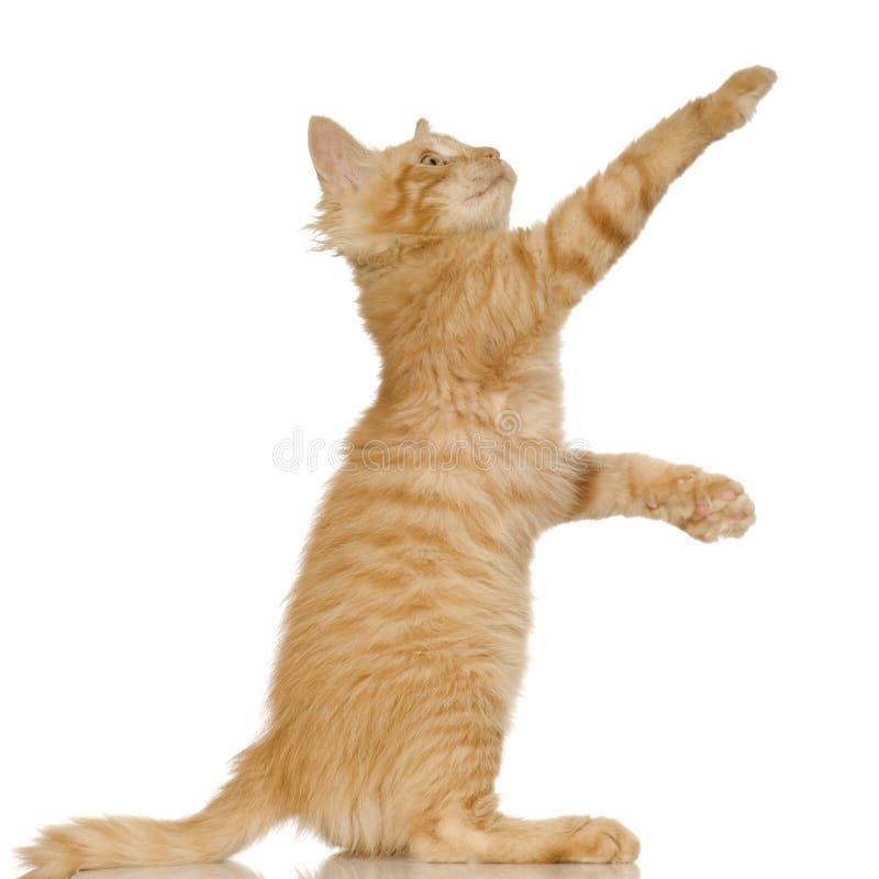 Gattino del gatto dello zenzero immagine stock libera da diritti