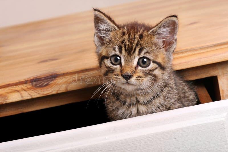 Gattino del Tabby immagine stock