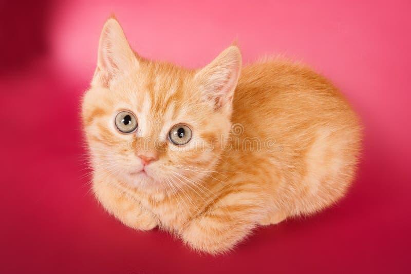 gattino del tabby dello zenzero fotografia stock