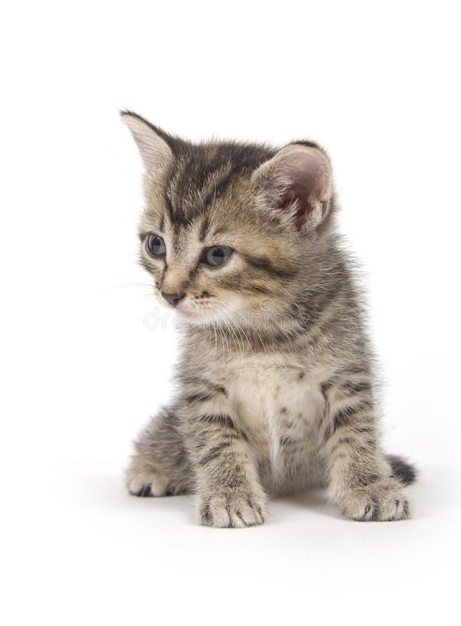 Gattino del Tabby su bianco fotografia stock