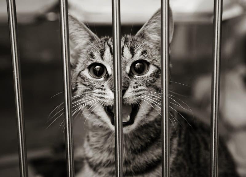 Gattino del Tabby in una gabbia che meowing fotografia stock libera da diritti