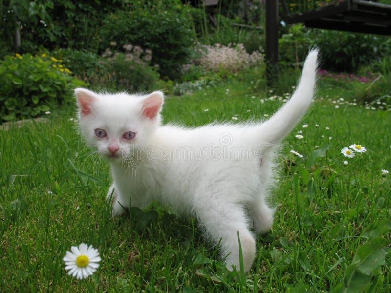 Gattino dell'albino immagini stock libere da diritti