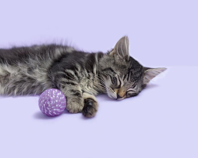 Gattino dell'isola di Man del soriano nero di sonno con il fondo porpora del giocattolo del gatto immagine stock libera da diritti
