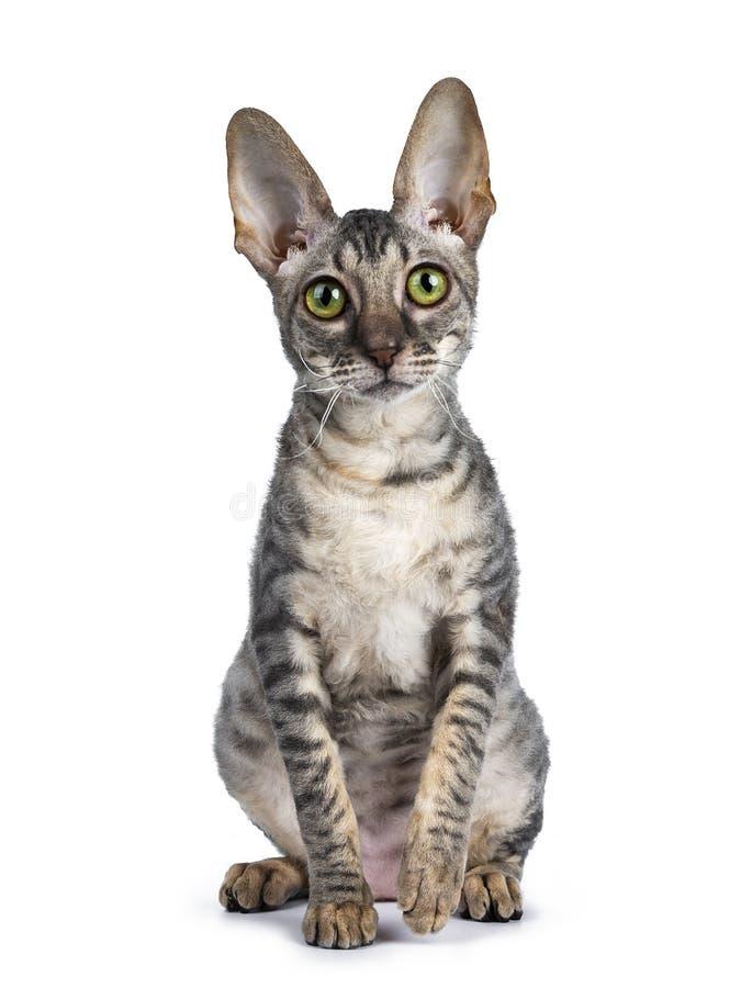 Gattino della Cornovaglia del rex su fondo bianco fotografie stock libere da diritti