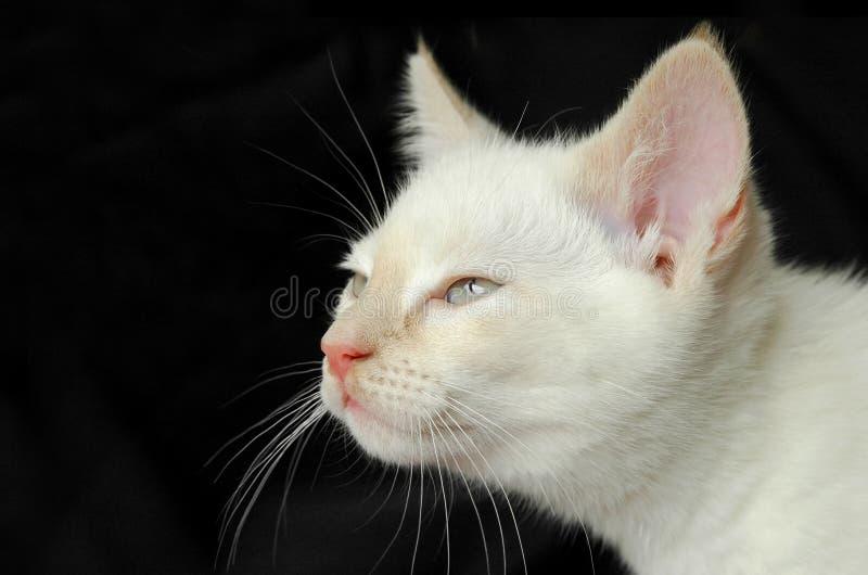 Gattino di Birman fotografie stock