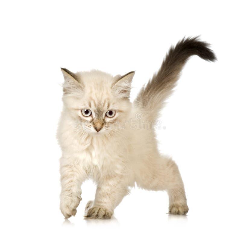 gattino di Birman del Blu-tabby-punto fotografia stock