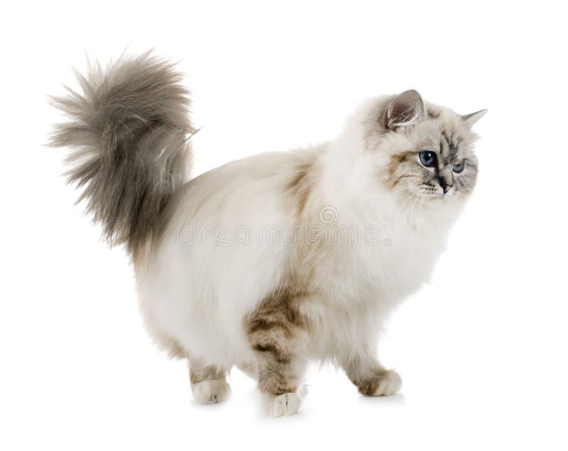 Gattino di birmano in studio immagini stock