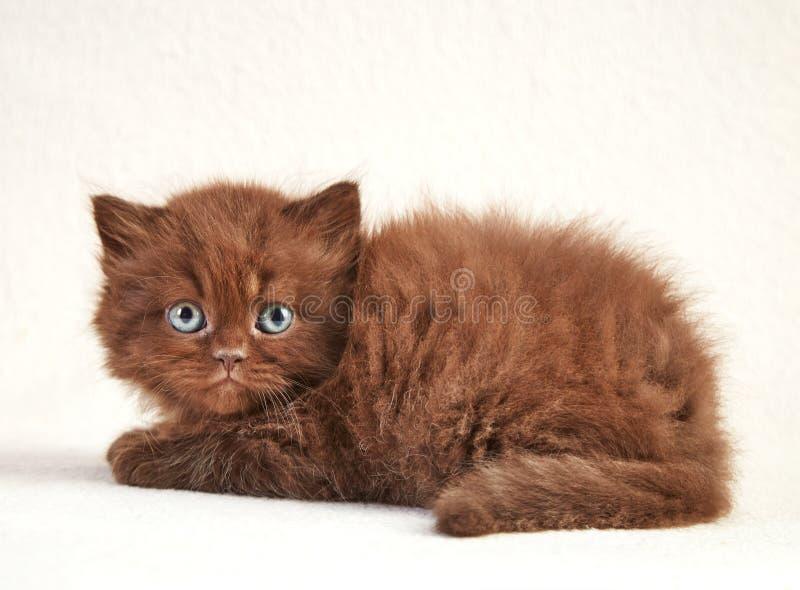 Gattino di Brown fotografie stock libere da diritti