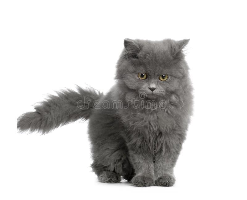 Gattino di Chartreux immagini stock libere da diritti