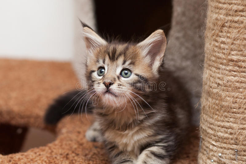 Gattino di Maine Coon fotografia stock libera da diritti