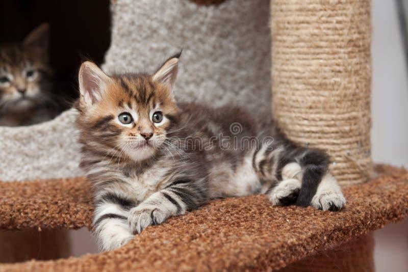 Gattino di Maine Coon fotografie stock