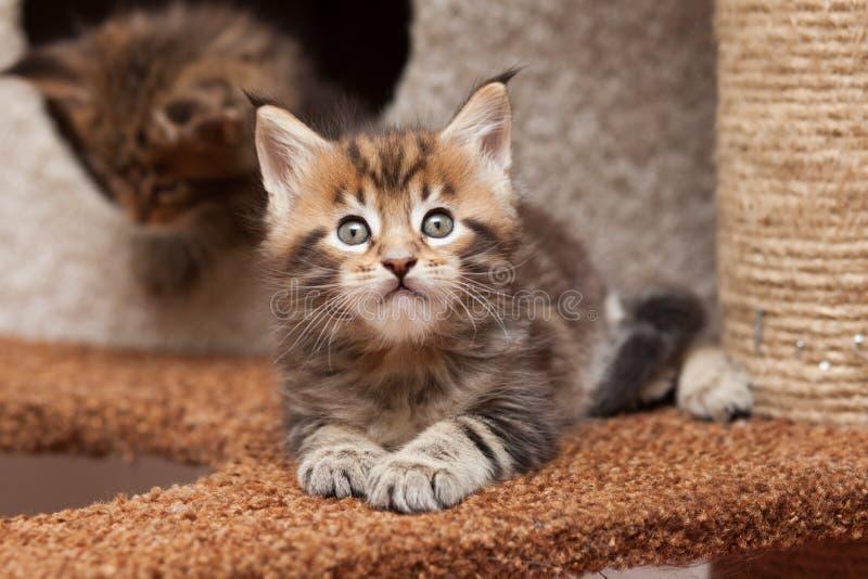 Gattino di Maine Coon fotografia stock
