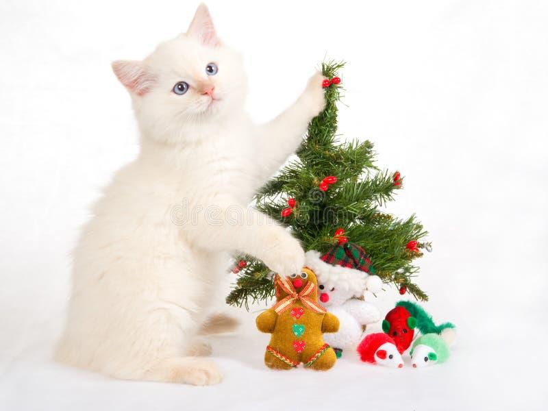 Gattino di Ragdoll con l'albero di Natale ed i giocattoli fotografia stock