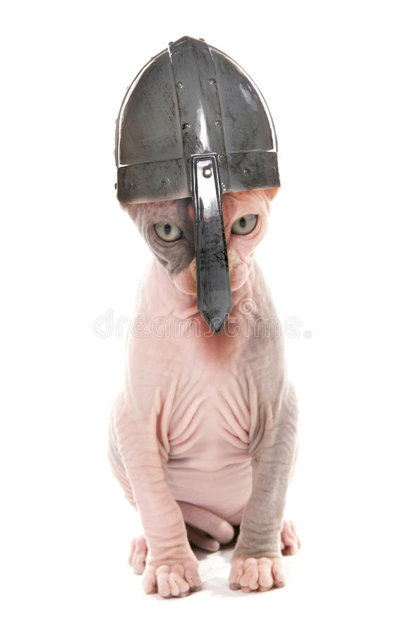 Gattino di Sphynx che indossa un casco di norvegese fotografia stock