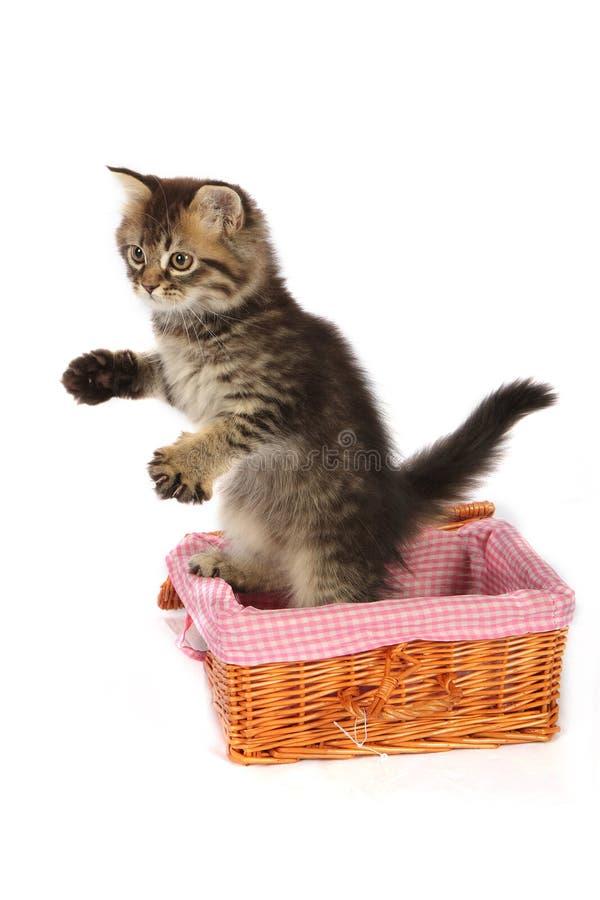 Gattino di Toyger immagine stock libera da diritti