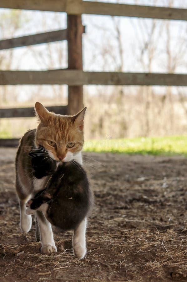 Gattino di trasporto del gatto del granaio fotografia stock libera da diritti