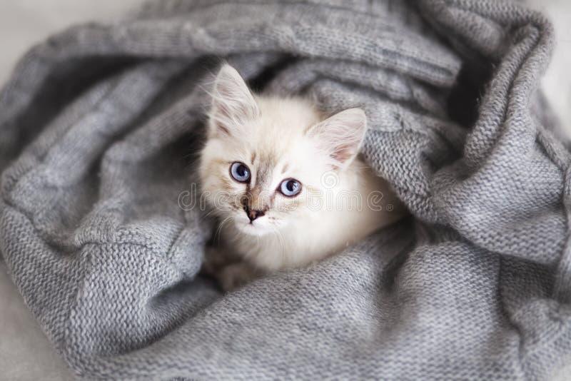 Gattino siberiano fotografie stock