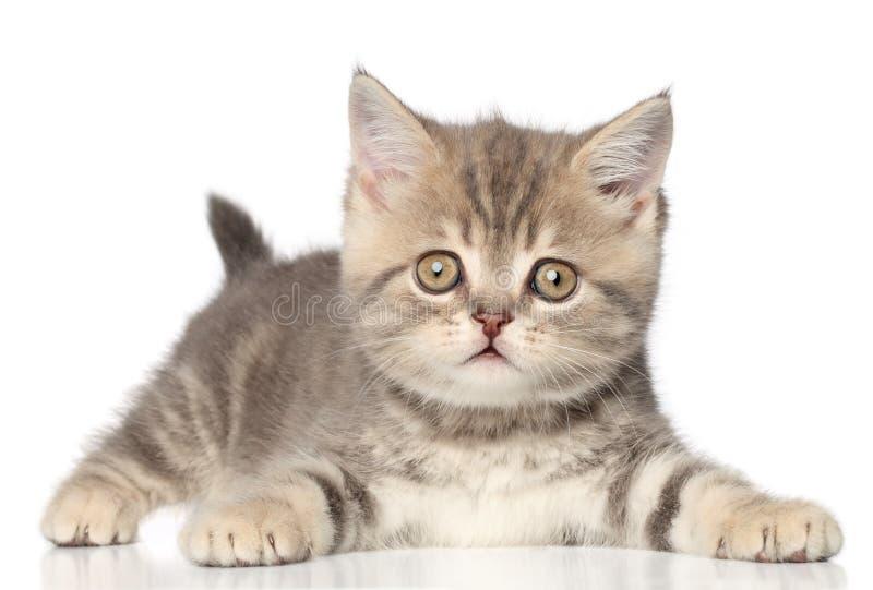 Download Gattino diritto scozzese immagine stock. Immagine di razza - 26535889