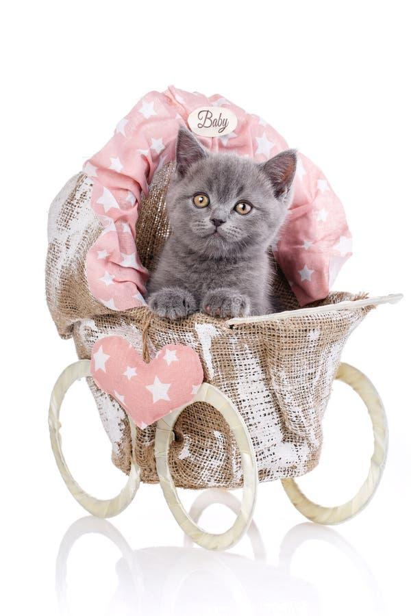 Gattino diritto scozzese Isolato su una priorità bassa bianca Sguardo divertente e simile a pelliccia del gattino molto attentame immagine stock libera da diritti