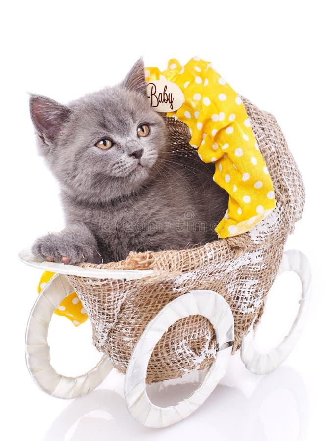 Gattino diritto scozzese Isolato su una priorità bassa bianca Un gattino divertente e lanuginoso ascolta attentamente fotografia stock libera da diritti