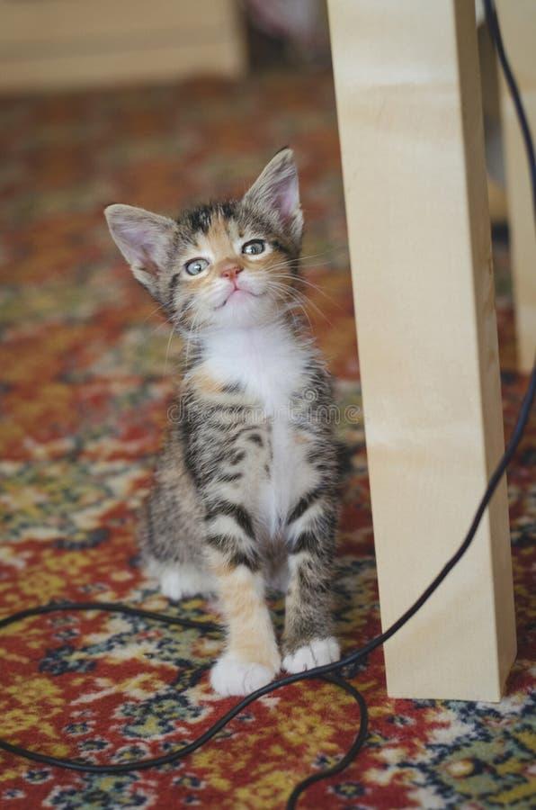 Gattino divertente salvato del calicò che esamina sospettoso la macchina fotografica fotografia stock