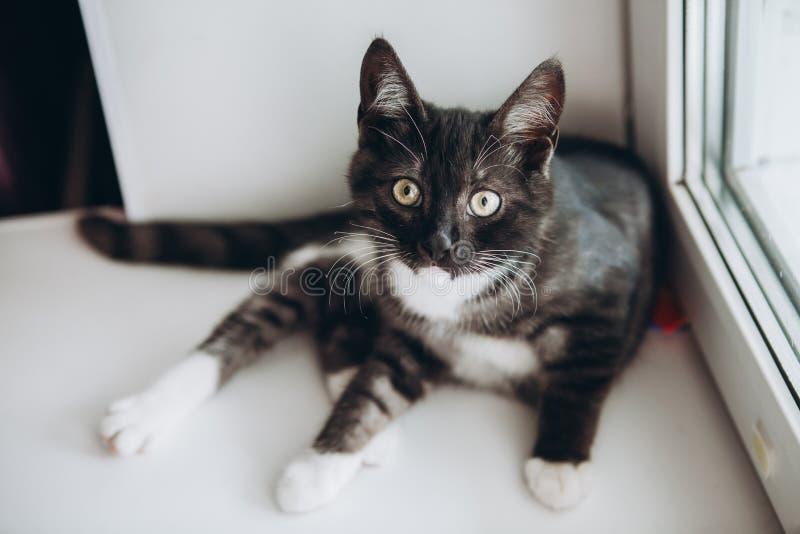 Gattino domestico in bianco e nero che si trova sul davanzale nella cucina fotografia stock libera da diritti
