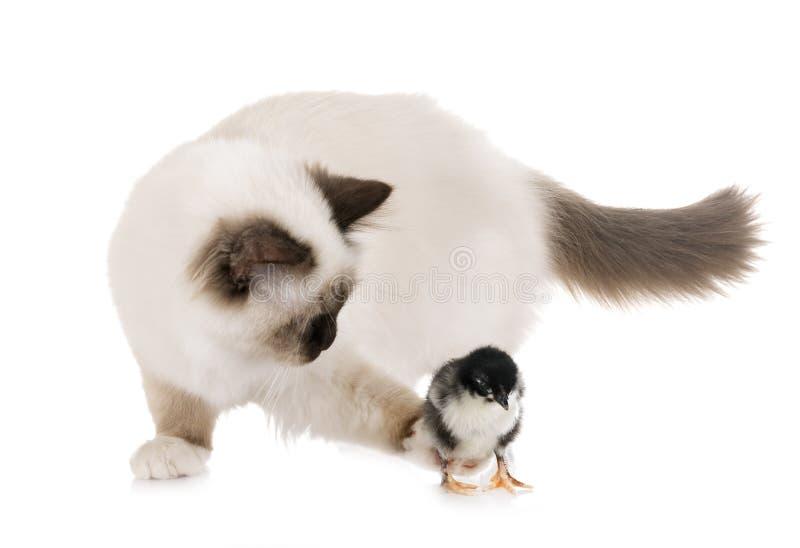 Gattino e pulcino di birmano fotografia stock