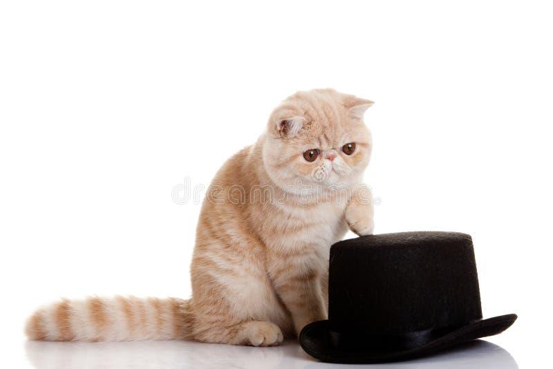 Gattino esotico persiano con il colpo del gatto e black hat dello studio immagine stock libera da diritti