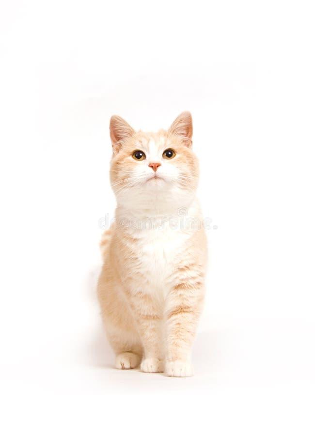 Gattino giallo su priorità bassa bianca immagini stock