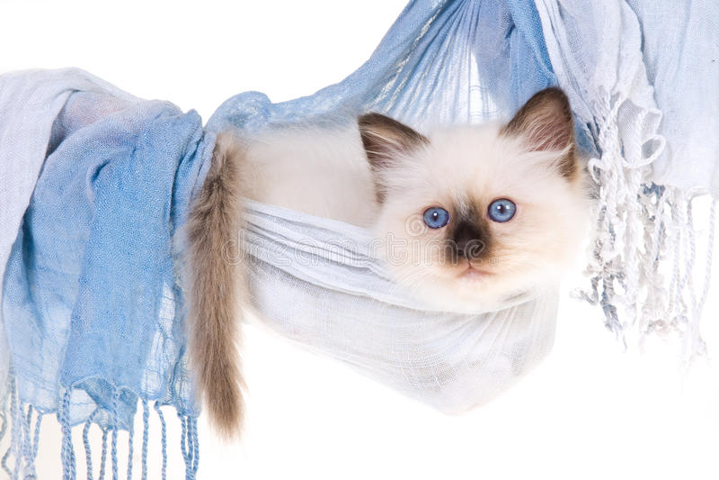 Gattino grazioso di Birman in hammock blu immagini stock