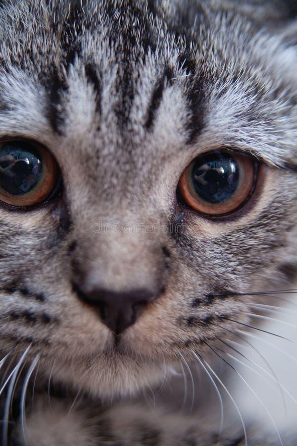 Gattino grigio del tabby fotografie stock libere da diritti