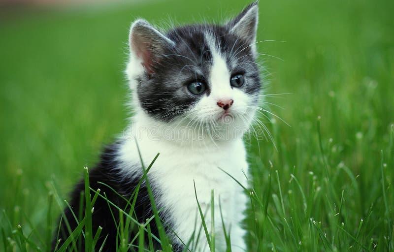 Gattino grigio nell'erba verde immagine stock libera da diritti